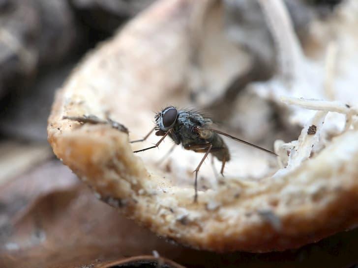 mosca sobre un trozo de comida