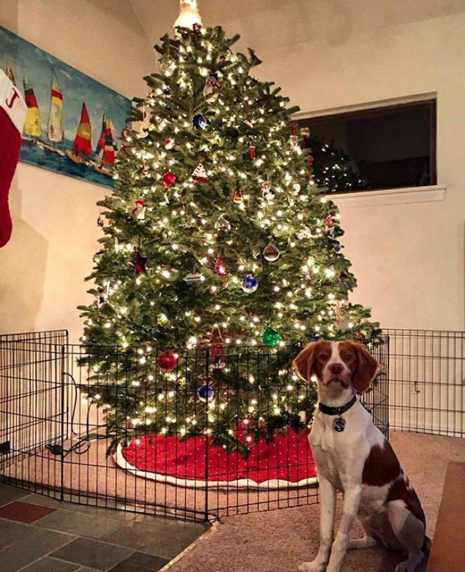 protegiendo arboles de navidad de las mascotas (15)
