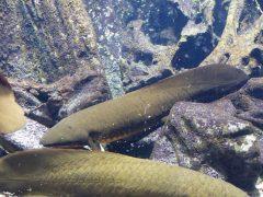 Este pez australiano posee el mayor genoma secuenciado hasta ahora