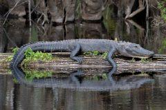 aligátor americano Alligator mississippiensis