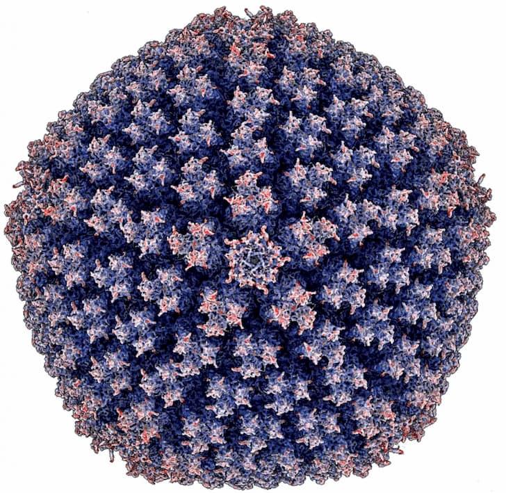 imagen adenovirus enterico 2