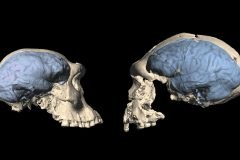 Homo de Dmanisi comparacion de cerebro