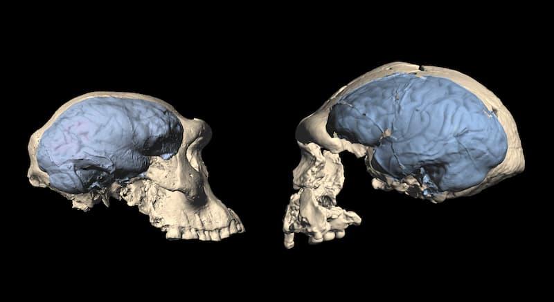 Homo de Dmanisi comparacion de cerebro(1)