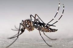 Aedes aegypti(1)