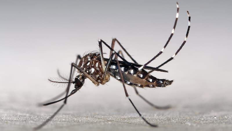 Aedes aegypti(2)