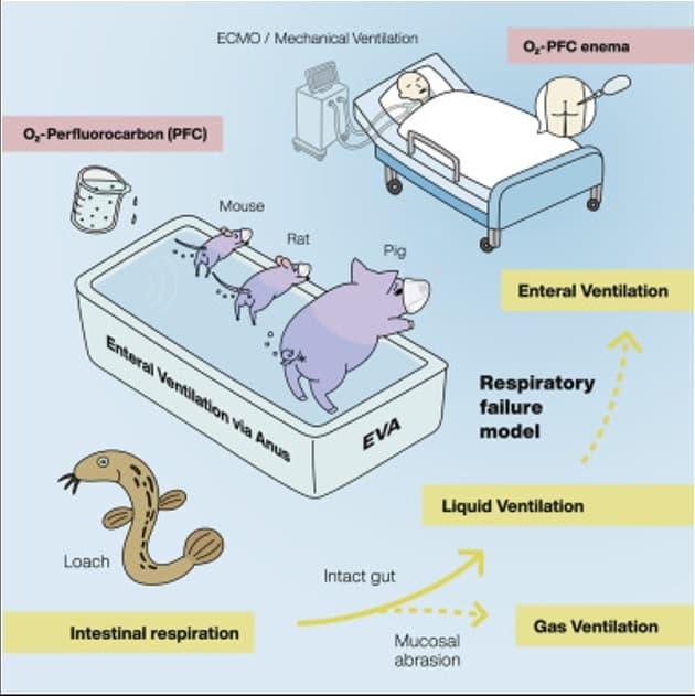 respiracion intestinal