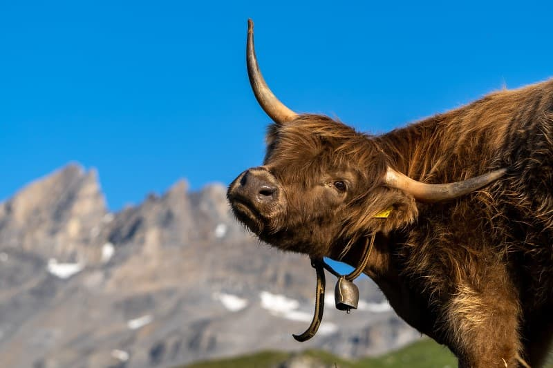toro suizo