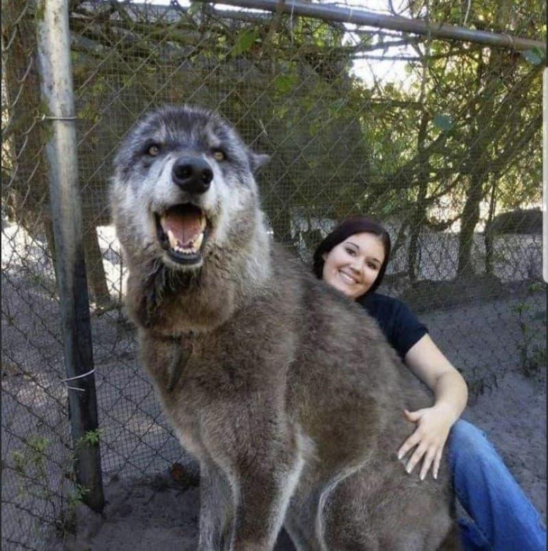 cruza lobo y perro