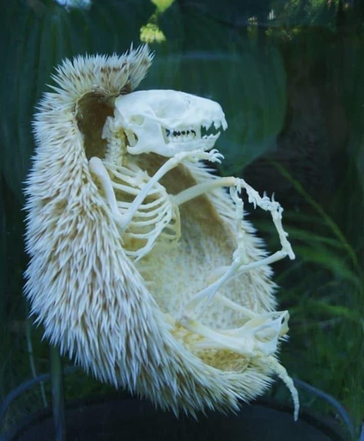 esqueleto erizo