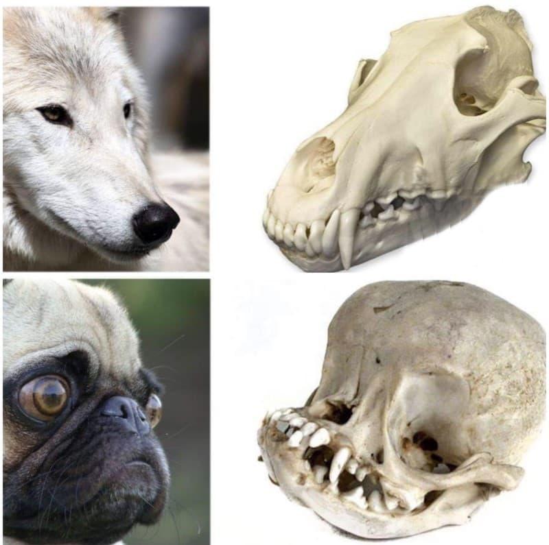 perros vs pug