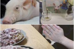 Comiendo cerdo después de 100 días