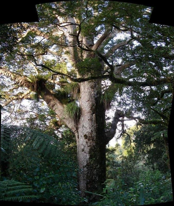 árbol vampiro de Nueva Zelanda