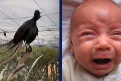 ave lira llanto de bebe