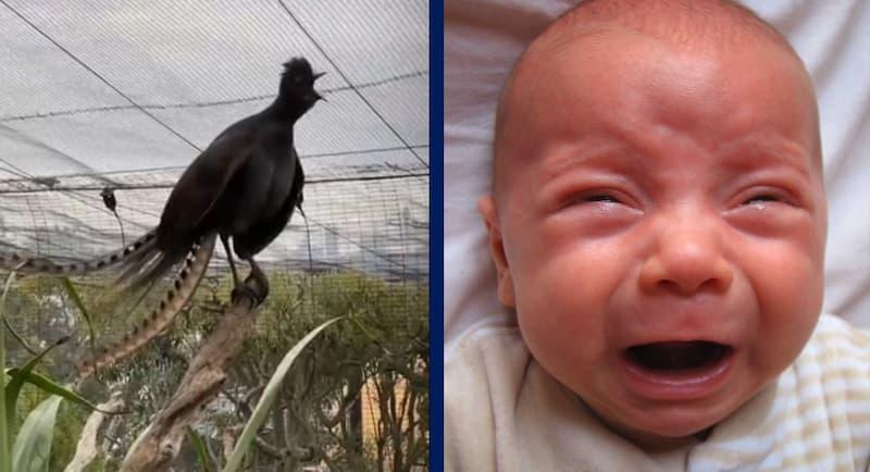 ave lira llanto de bebe(1)