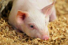 cerdo acostado