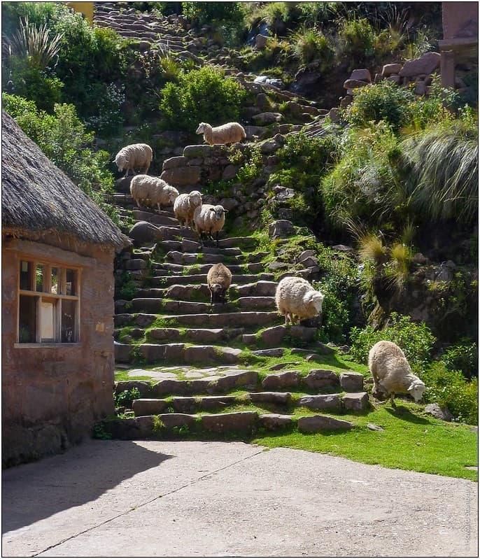 cria de ovejas en taquile peru