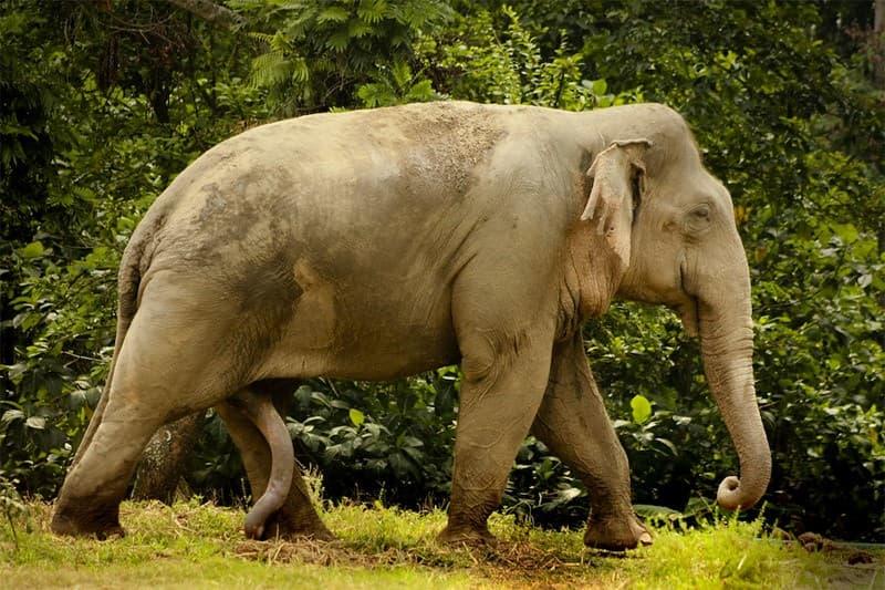 elefante bien dotado